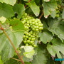 Grape Vineyard  (Grape Vineyard)