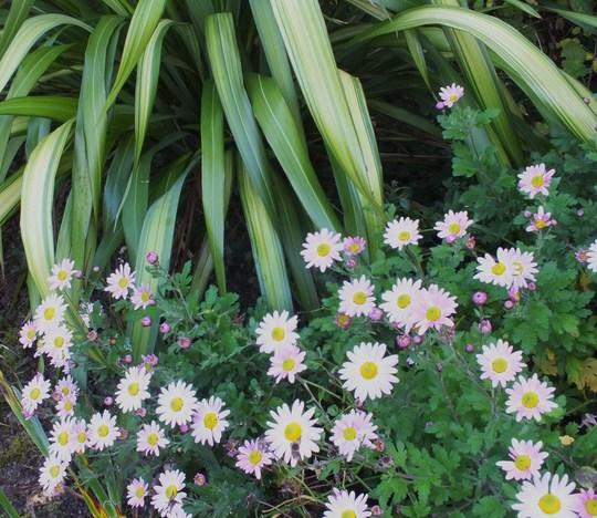 Chrysanthemum and Phormium 'Yellow Wave'