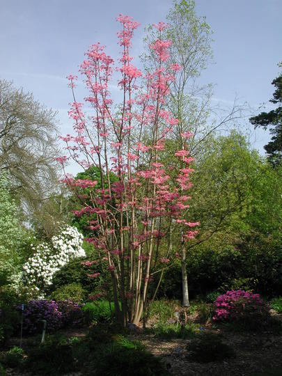 Such a beautiful tree! (Toona sinensis)