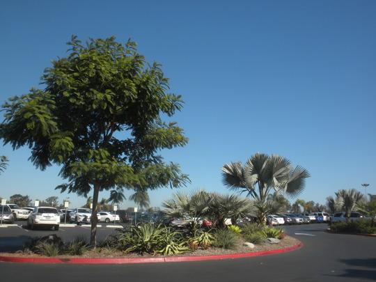 Peltophorum pterocarpum - Yellow Flamboyant, Brahea armata - Mexican Blue Palms, Bismarckia  nobilis - Bismarck Palm (Peltophorum pterocarpum - Yellow Flamboyant, Brahea armata - Mexican Blue Palms, Bismarckia  nobilis - Bismarck Palm)