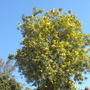 Tecoma stans - Yellow Bells Tree Flowering (Tecoma stans - Yellow Bells Tree)