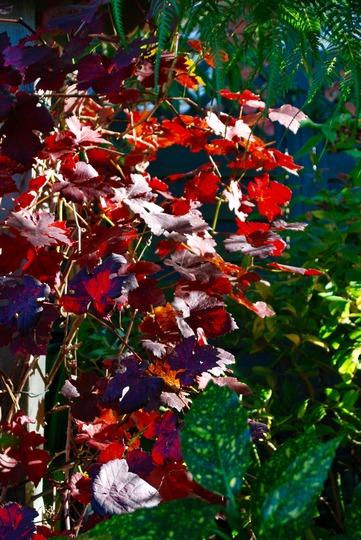 Vitis Vinifera hanging on in there.... (Vitis vinifera (Grape vine)Purpurea)