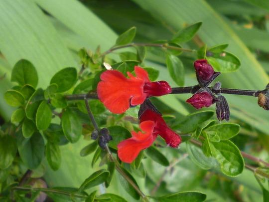 Salvia 'Royal Bumble' (Salvia 'Royal Bumble')