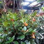 Goldfish plant in bloom.. (Nematanthus gregarius)
