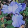 Iris Scented Blue (Iris germanica (Orris))