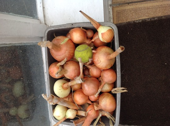 Onions left after picking July.