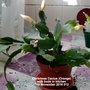 Christmas Cactus Orange flowering in kitchen 5th November 2016 012 (Schlumbergera truncata)