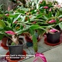 Christmas Cacti in kitchen flowering 4th November 2016 001 (Schlumbergera truncata)