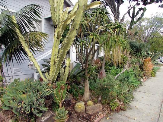 Golden Barrels return to the front. (Echinocactus grusonii (Golden barrel cactus))