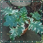 Acanthus_whitewater