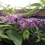 buddleia davidii (butterfly bush )