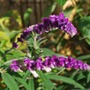 Our favourite plant of the year....goes to a Salvia Santa Barbara.. (Salvia leucantha (Mexican Bush Sage))