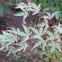 A branch of Japanese maple Butterfly