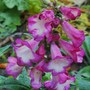 Penstemon 'Polaris Purple' (Penstemon)