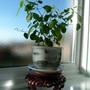 """Euphorbia """" Diamond Frost"""""""