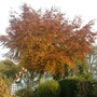The Copper Beech in its autumn colours.