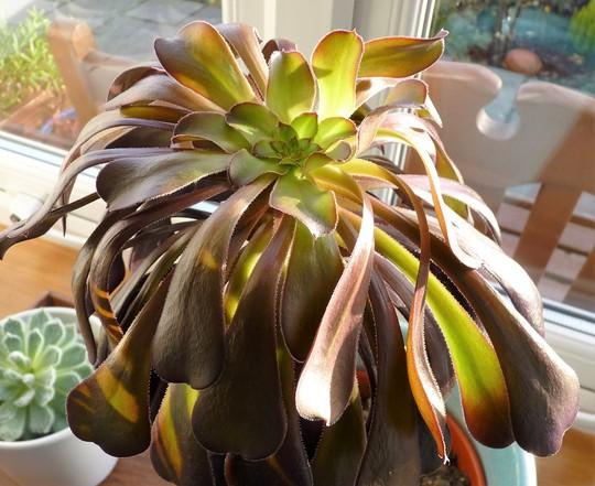 Aeonium 'Schwartzcopf' (Aeonium canariense (Aeonium))