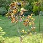 Populus deltoides 'Purple Tower' (Populus deltoides)