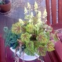 Heuchera 'Electric Lime' (Heuchera 'Electric Lime')