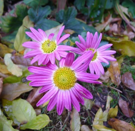 Chrysanthemum (pink) - 2016 (Chrysanthemum)