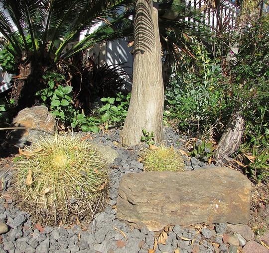 Barrels with lava.. (Echinocactus grusonii (Golden barrel cactus))