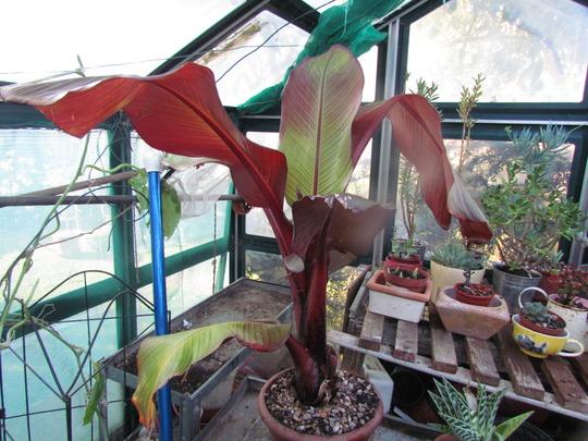 Banana Plant (Ensete maurelii ventricosum)