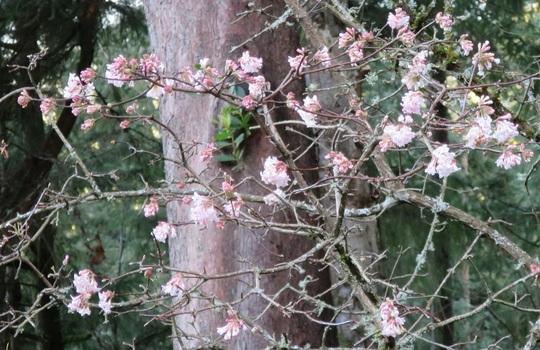 Pink Viburnum x bodnantense of the deck flowering (Viburnum x bodnantense 'Dawn')