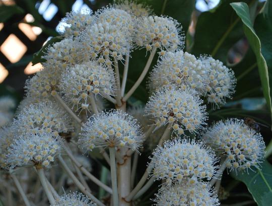 Flowers on Fatsia japonica variegata... (Fatsia japonica Variegata.)