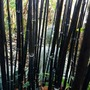 I spy with my little eye..........a Buddha!! (Phyllostachys nigra)
