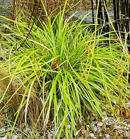 Carex Everillo for my file... (Carex oshimensis (Sedge)Everillo.)