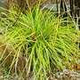 Carex Everillo for my file... (Carex oshimensis (Sedge)Everillo.)