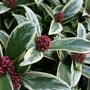 Skimmia japonica (Skimmia) Magic Marlot.
