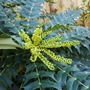 Mahonia budding up nicely... (Mahonia x media (Lily of the valley bush) Charity)