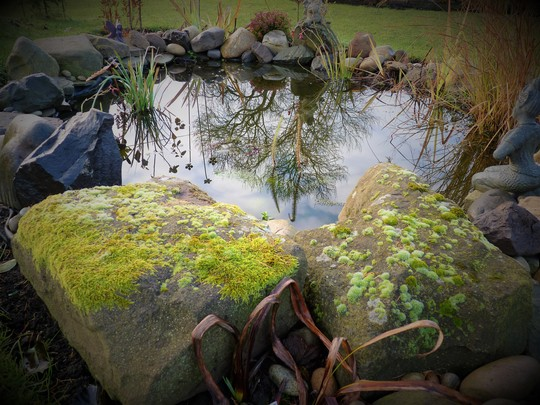 Reflected Ash Tree in My Pond