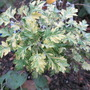 Got a name now? ' Oriental Limelight' (For my file) (Artemisia vulgaris variegata)