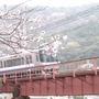 Cherry Blossom and Train