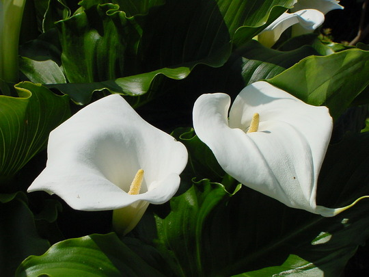 Arum Lilly - elegant perfection