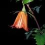 Canarina canariensis (Canarina canariensis (Bicacaro))