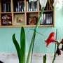 Amaryllis Anglo-American hybrid on living room table 15th December 2016 004 (Amaryllis)