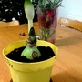Amaryllis hybrid with advanced bud just potted up 15th November 2016 002 (Amaryllis Hippeastrum)