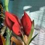 Amaryllis hybrid (Pure red) with bud opening on living room table 30th November 2016 003 (Amaryllis Hippeastrum)