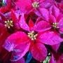 Poinsettias Red