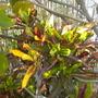 Codiaeum variegatum 'Mammy' - Croton (Codiaeum variegatum 'Mammy' - Croton)