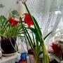 Amaryllis_flowering_in_kitchen_31st_december_2016_001