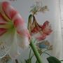 Amaryllis Anglo-American hybrid flowering in kitchen 31st December 2016 003 (Amaryllis)