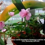 Busy_lizzies_impatiens_flowering_in_kitchen_window_31st_december_2016_001