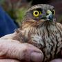 Sparrowhawk_4