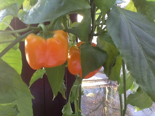 Two more sweet peppers.