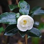 Camellia sasanqua Winters Snowman..first flowers! (Camellia sasanqua (ChA Mei Hua) Winters Snowman...)