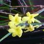 J_nudifolium